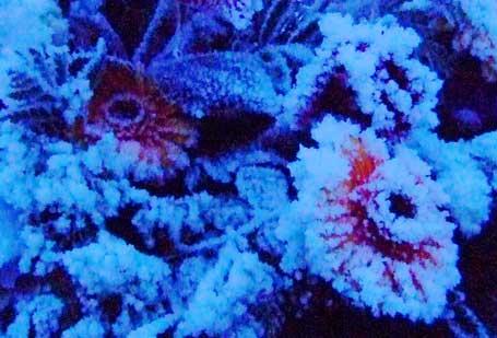 frozen-red-flowers.jpg