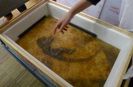 Fossilet «Ida» er nettopp ankommet Munchmuseet i en transportkasse. Foto: Oda Bhar.